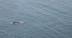 ST Helena Island  Humpback whale and calf swimming past