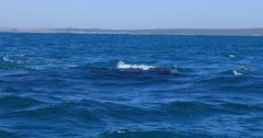 Superpods Humpback Whales South Africa