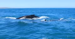 Humpback Whale super pod migration by drone