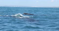 Humpback Whale migration West Coast South Africa, Superpods feeding on Krill