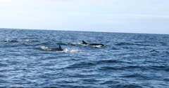 False Killer Whales, Algoa Bay during Sardine Run