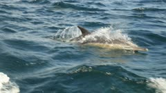 slow motion -Sardine Run action superposed of Common Dolphins hunting close up fish and feed on a bait ball