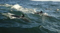 slow motion - Sardine Run action superpod of Common Dolphins chasing  fish while travelling