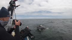 Curious Humpback Whale comes and visit the boot, spy hopping around the boat, South Africa, Atlantic Ocean, West Coast,