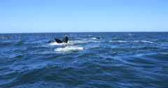 Humpback Whale migration West Coat of South Africa, feeding behaviour, breathing and diving