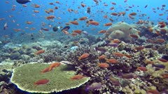 Healthy hard coral reef with many different species like acropora, table, brain, star and much more. On top of it are swimming a cloud of orange and purple anthias, surgeonfishes, damselfishes,…