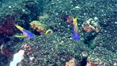 2 ribbon eel (Rhinomuraena quaesita) with blue body and bright yellow head, one from the side with mouth open not moving and the other one going up and down, left and right with kind of spasms…