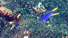 2 ribbon eel (Rhinomuraena quaesita) with blue body and bright yellow head, one 3/4 side view with mouth open not moving and the other one from the side having spasms like coughing.