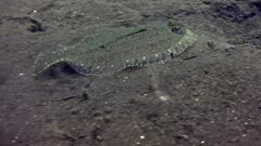 Leopard flounder (Bothus pantherinus) swimming over sand. Tracking shot following the fish from the side and showing the whole body.