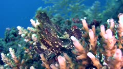 Brown leaf scorpionfish (Taenianotus triacanthus) sitting on top of acropora coral and moving its head. Shot from 3/4 angle.