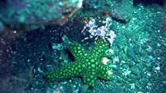 Harlequin shrimp (Hymenocera elegans) dragging sea star to its hiding place to eat it.