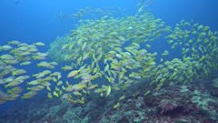 School of blue-lined snapper (Lutjanus kasmira) moving together, swimming over rocky coral reef.