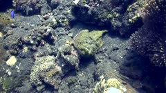 Reef stonefish (Synanceia verrucosa) laying on a rocky sandy area. The camera starts wide and slowly comes closer.