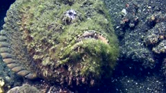 Reef stonefish (Synanceia verrucosa) laying on a rocky sandy area. The camera gets closer and closer.