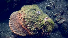 Reef stonefish (Synanceia verrucosa) laying on a rocky sandy area with only a little part of the mouth moving. Full shot at a 3/4 angle.