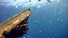 USAT Liberty Wreck in Tulamben with a lot of plastic floating in the water. A lot of tropical fishes are swimming around like sergeant major, snapper, damselfish and many more sadly checking if the plastic is something they could eat.