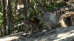 Long tailed macaque checking another one for flees