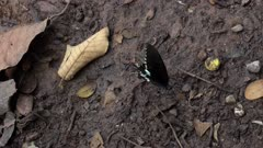 Big black butterfly with white spots flapping its wings on a muddy floor with rocks and leafs