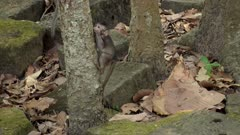 Baby long tailed macaque going down a tree with food in its mouth.