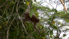 Long tailed macaque swinging between tree branches in Angkor Wat.