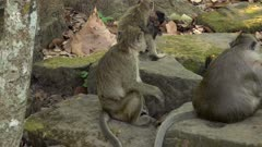 A few long tailed macaque sitting on rocks while a baby one is playing around.