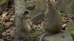 Baby long tailed macaque jumping on a tree and trying to climb it with the mum sitting next to.