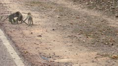 Three young long tailed macaques playing together along a road in Angkor Wat area.
