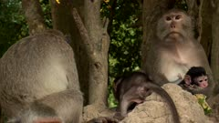 Two long  tailed macaque females sitting on rocks with their babies.
