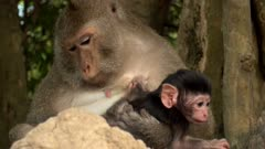 Long  tailed macaque female sitting on rocks checking her baby and two other ones climbing on her.