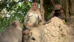 Three long  tailed macaque females sitting on rocks with their babies, one of them jumping around.