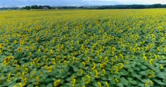 Drone footage of the countryside in Viry near Geneva with a bright yellow sunflower field and mountains in the background. The camera is starting low over the sunflower plants and is ascending showing the whole field.