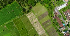 Drone footage of bright green young rice paddies next to some soon to be harvested covered with nets and plastic flags to avoid being eaten by birds and some with only water before putting the plants in Candidasa, Bali. The camera is going over the fields while ascending and tilting down ending up at birdview angle.