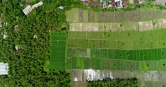 Drone footage of bright green young rice paddies next to some soon to be harvested covered with nets and plastic flags to avoid being eaten by birds and some with only water before putting the plants in Candidasa, Bali. The camera is facing down at birdview angle and is ascending straight.