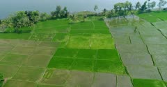 Drone footage of countryside near Mysore, Karnataka, India, with the bright green rice fields at various stage growing along the Kaveri river, a few coconut trees are growing on the bank. The camera is facing down at the fields and is panning along the river while tilting up.