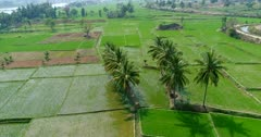 Drone footage of countryside near Mysore, Karnataka, India, with a few coconut trees growing in the middle of young rice fields at various stage along the Kaveri river. The camera is going over the fields turning around the few palm trees.