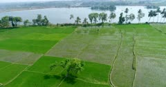 Drone footage of countryside near Mysore, Karnataka, India, with the bright green rice fields at various stage growing along the Kaveri river, a few coconut trees are growing on the bank. The camera is going backward over the fields away from the river.