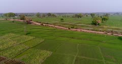 Drone footage of countryside near Mysore, Karnataka, India, with the bright green rice fields at various stage growing along the Kaveri river, trees are scattered around them. The camera is going backward over the fields while descending.