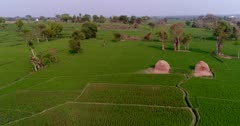 Drone footage of countryside near Mysore, Karnataka, India, with the bright green rice fields at various stage growing along the Kaveri river, trees are scattered around them. The camera is going over the fields between the trees.