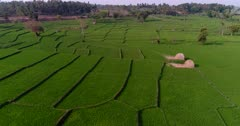 Drone footage of countryside near Mysore, Karnataka, India, with the bright green rice fields at various stage growing along the Kaveri river, trees are scattered around them. The camera is going sideway over the fields.