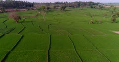 Drone footage of countryside near Mysore, Karnataka, India, with the bright green rice fields at various stage growing along the Kaveri river, trees are scattered around them. The camera is going over the fields while panning towards the river.