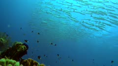 Diving footage of a group of chevron or sawtooth barracuda (Sphyraena putnamae) hovering above coral reef in Telora Ridge, Forgotten Islands, Indonesia. The camera is facing up at the school and is slowly moving forward.