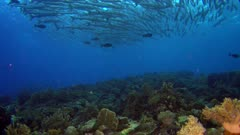 Diving footage of a group of chevron or sawtooth barracuda (Sphyraena putnamae) hovering above coral reef in Telora Ridge, Forgotten Islands, Indonesia. The camera is slightly panning the reef with the school over it.