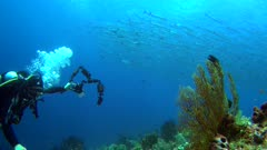 Diving footage of a diver with a group of chevron or sawtooth barracuda (Sphyraena putnamae) hovering above coral reef in Telora Ridge, Forgotten Islands, Indonesia. The camera is facing the reef with the school over it and is moving slowly backward.