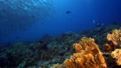 Diving footage of a diver with a group of chevron or sawtooth barracuda (Sphyraena putnamae) hovering above coral reef in Telora Ridge, Forgotten Islands, Indonesia. The camera is facing the reef with the school over it and is slowly ascending.