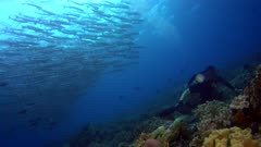 Diving footage of a sidemount diver with a group of chevron or sawtooth barracuda (Sphyraena putnamae) hovering above coral reef in Telora Ridge, Forgotten Islands, Indonesia. The camera is facing the reef with the school over it and is slowly moving sideway.