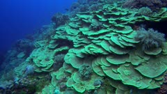 Diving footage of pristine reef with an area of lettuce coral scattered with various other species, Forgotten Islands, Indonesia. The camera is facing down at the coral and is going over it while tilting up.