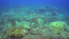 Diving footage of pristine coral reef with a field of acropora branching coral, huge table coral and many more, Forgotten Islands, Indonesia. The camera is panning over the reef.