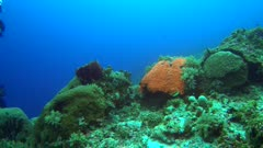 Diving footage of pristine coral reef with a field of various hard coral with one reddish brain coral and divers swiming over it, Forgotten Islands, Indonesia. The camera is going over the reef while slightly panning.