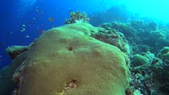 Diving footage of pristine coral reef with a field of various hard coral including a huge star coral boulder, divers swiming below it in the background, Forgotten Islands, Indonesia. The camera is going over the stony coral before tilting down towards the divers.