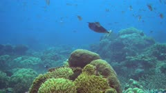 Diving footage Spotted unicornfish (Naso brevirostris) swimming over pristine coral reef with a field of various hard and soft coralandh cloud of damselfishes, Forgotten Islands, Indonesia. The camera is going over the reef while slightly panning.